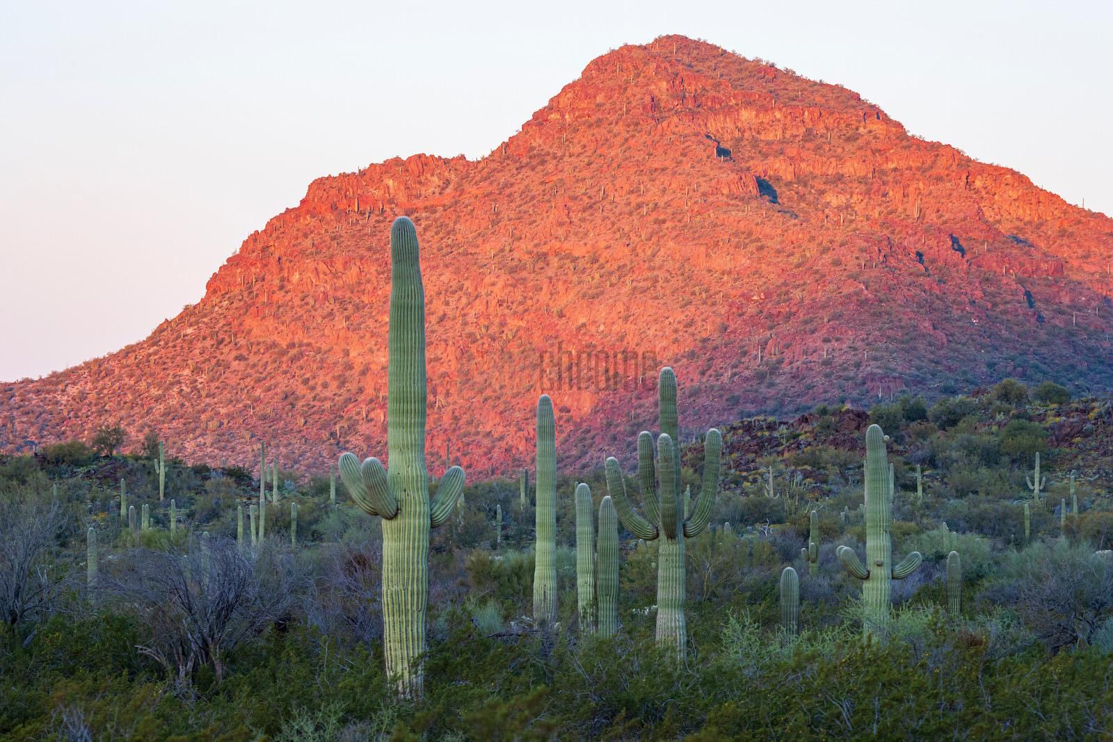 Organ Pipe Cactus at Sunrise