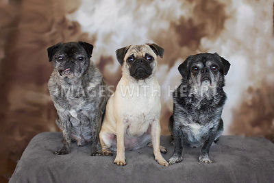Pugs of all colors