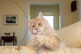 Orange Maine Coon Cat Pawing Cat Wand Toy