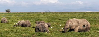 Elephants in Amboseli Marsh Web Banner