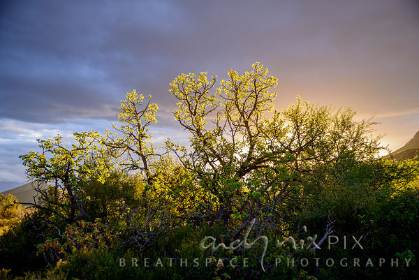 Karoo tree in a glowing sunset
