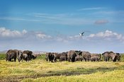 Large Herd of African Elephants in Amboseli Kenya