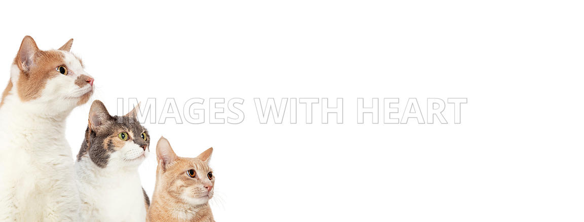 Three Cats Looking Into Blank White Web Banner
