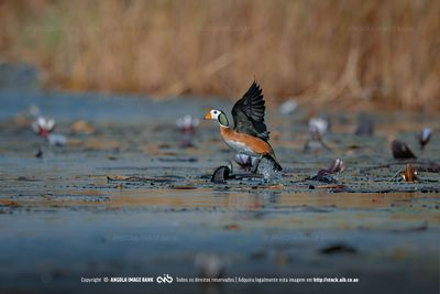 An African pygmy goose taking flight
