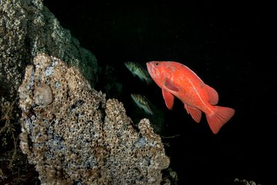 Vermilion Rockfish, Sebastes miniatus, and Copper Rockfish behind, in Saanich Inlet, Vancouver Island.