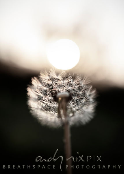 Wall Art Decor Photo Print: Sunrise Dandelion I
