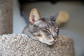 Close-up of Grey Cat Asleep with Head on Cat Tree