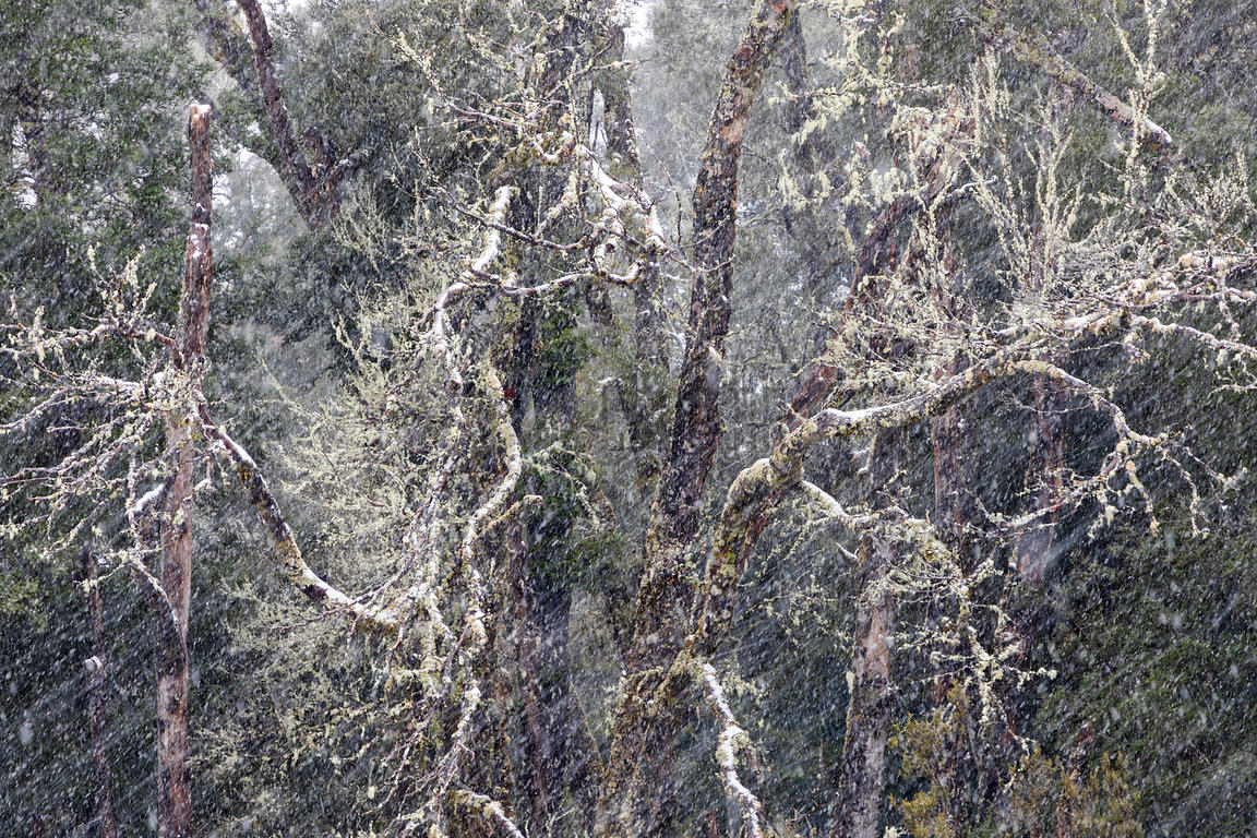 Falling Snow against a Beech Myrtle