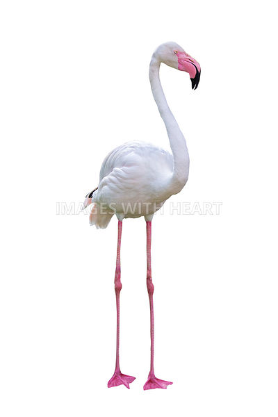 Flamingo Facing Side Extracted