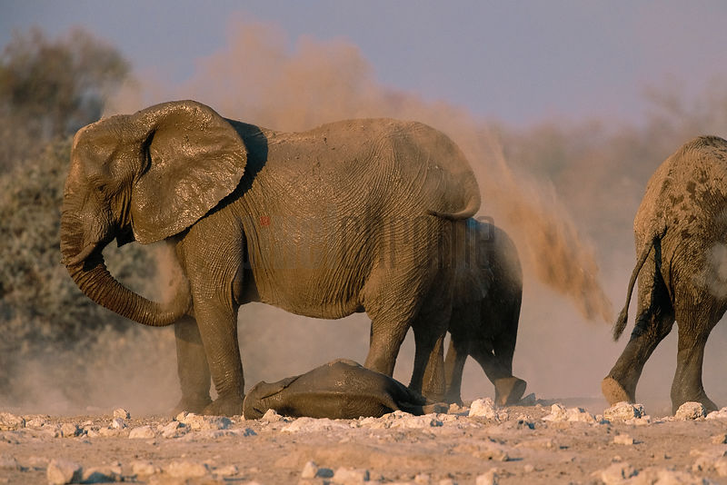 Elephants Dusting