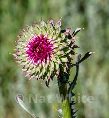 Rocky_Mountain_thistle-Filename_number_suffix-_1July_24_2019_