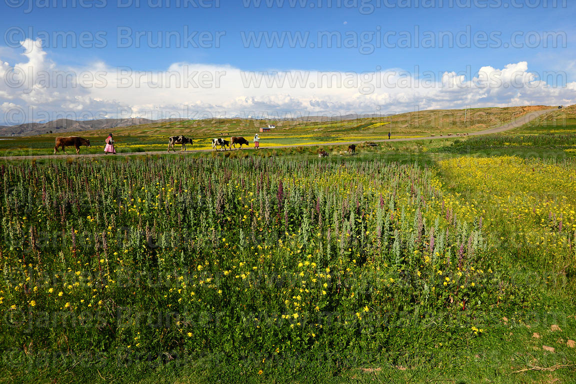 Aymara women with cattle walking past mixed field of quinoa (Chenopodium quinoa)and rapeseed (Brassica napus) plants on altip...