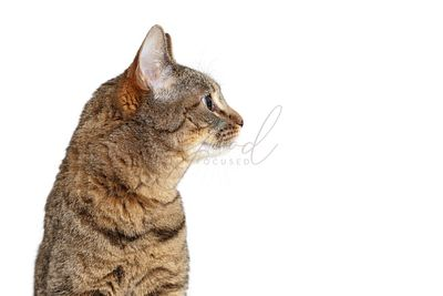 Tabby Cat Profile Looking Side Isolated