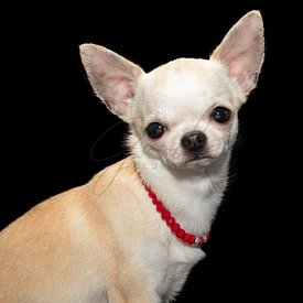 White Chihuahua wearing red necklace