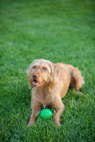 Dog_Lying_On_Grass_With_Ball