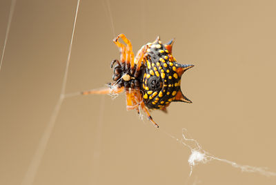 Six-spined Spider