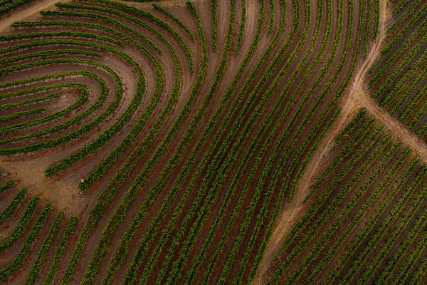 Curved vineyard rows look like fingerprints. Drone photography by Jason Tinacci / TinacciPhoto.com, Sonoma County, California