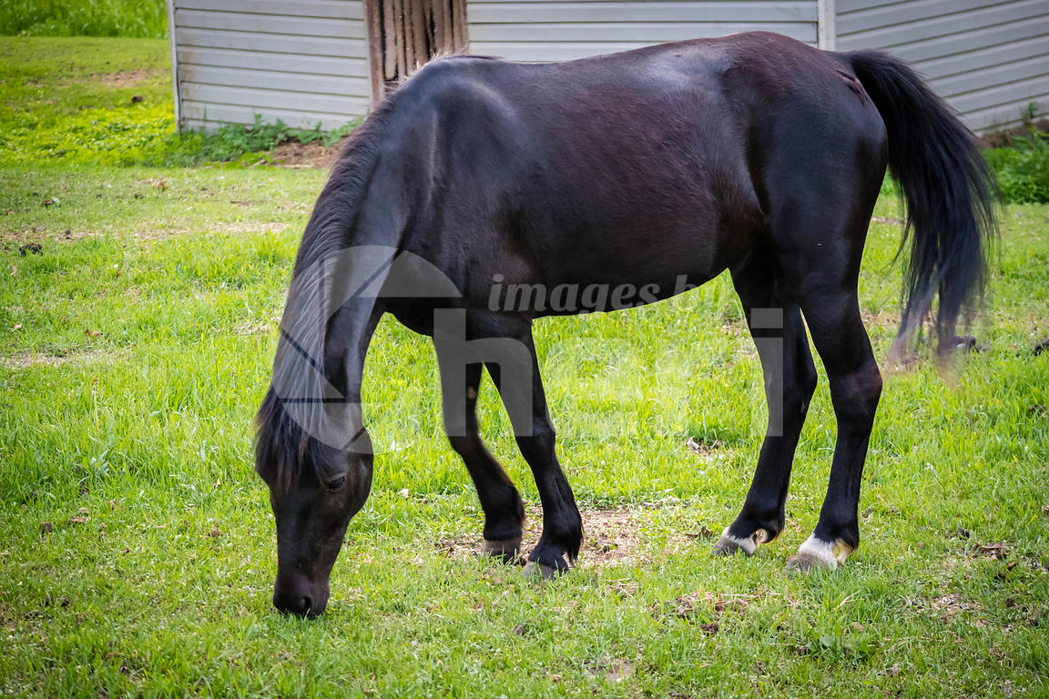 A black pony in Ham Lake, Minnesota