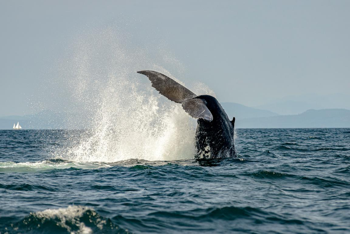 Humpback whale tail slapping near Campbell RIver