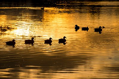 Ducks silhouetted against setting sun light reflected off water