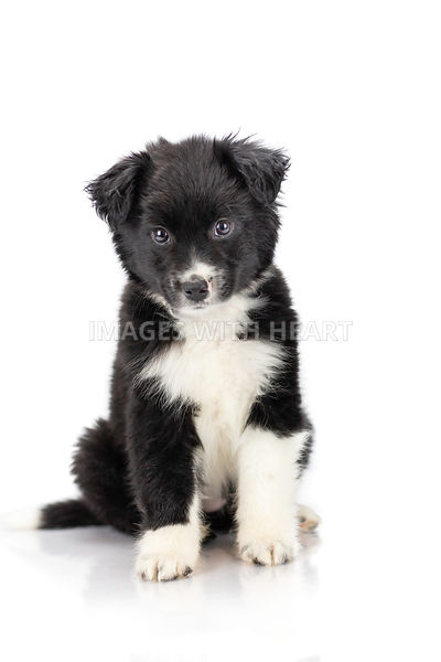 Black and white puppy sitting