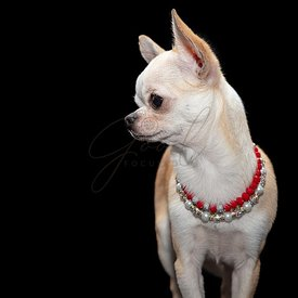 Spoiled Chihuahua dog wearing beaded necklaces