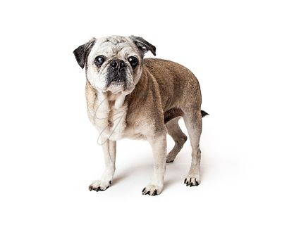 pug big eyes standing isolated