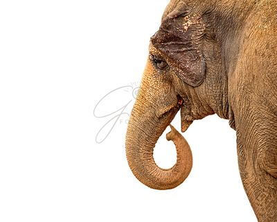 Asian Elephant Curling Trunk Closeup Isolated