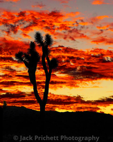Joshua tree agains flaming sunset