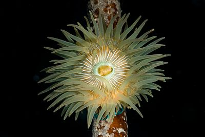Closeup of a Brooding Anemone, Epiactus lisbethae, on a kelp stalk.