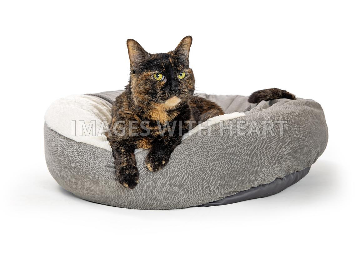 Domestic Cat Lying Down on Bed