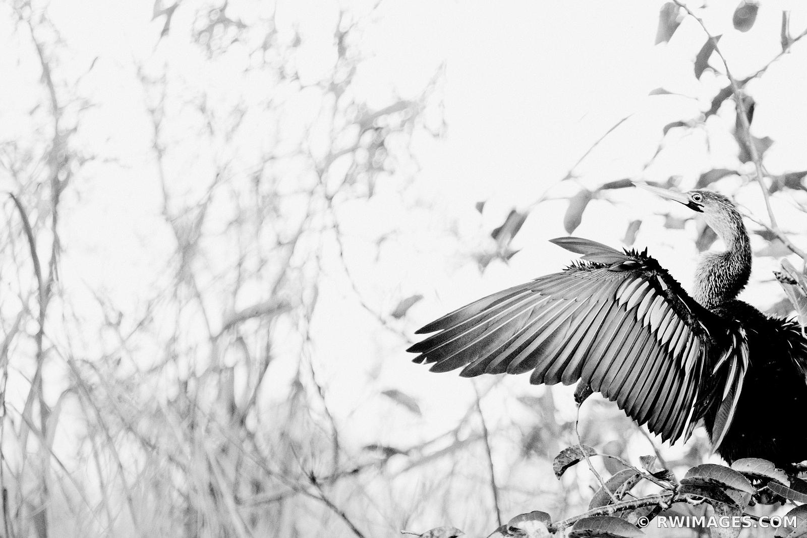 ANHINGA EVERGLADES NATIONAL PARK BLACK AND WHITE