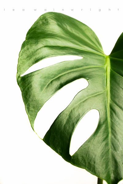 monstera leaf on white