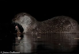 Loutre d'Europe (Lutra lutra), Hongrie