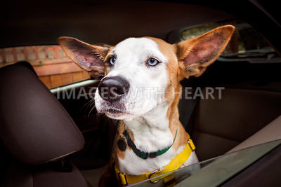 Basenji Mix Dog with Big Goofy Ears in Car