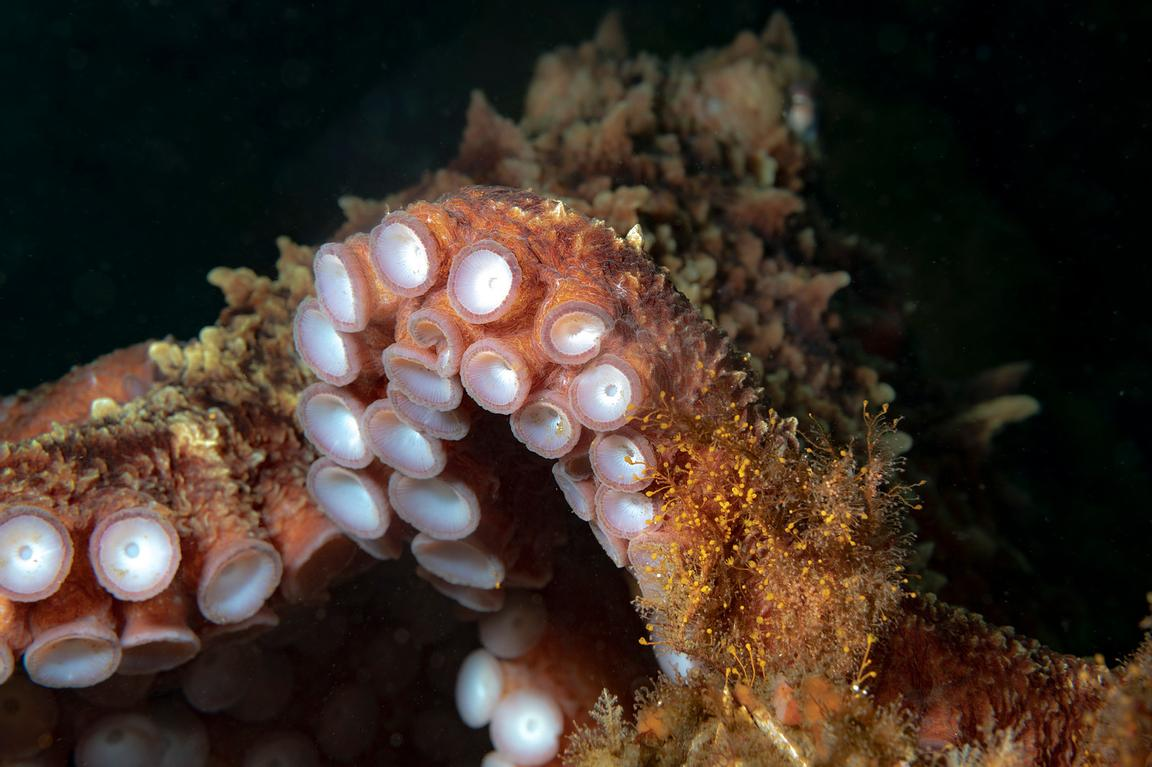 Giant Pacific Octopus, Enteroctopus dofleini, reaching out its arms.