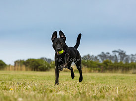 Black Labrador Dog in Air with Ball and Surprised Expression