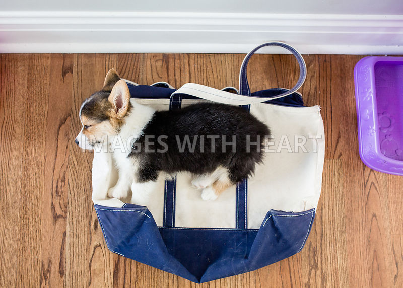 tricolor puppy laying on bag indoors