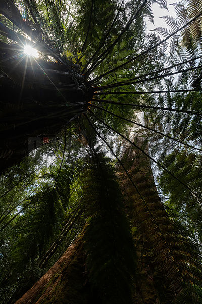 View from below of a Eucalyptus Regnans through a Tree Fern