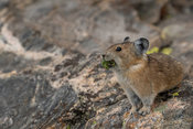 Pika gathering food for winter