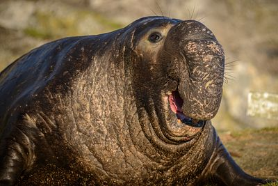 Portrait of male Elephant Seal showing its large proboscis.