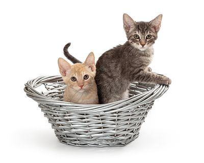 Two Young Kittens in a Basket
