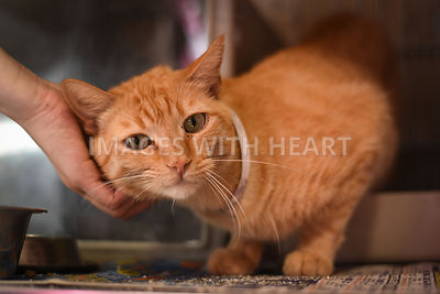 Orange tabby being pet.