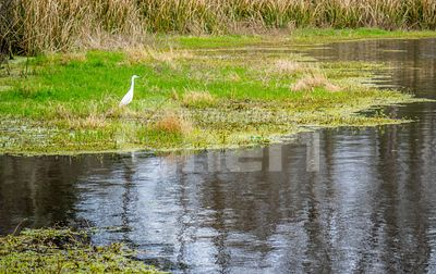 A Great White Egret in Abbeville, Louisiana