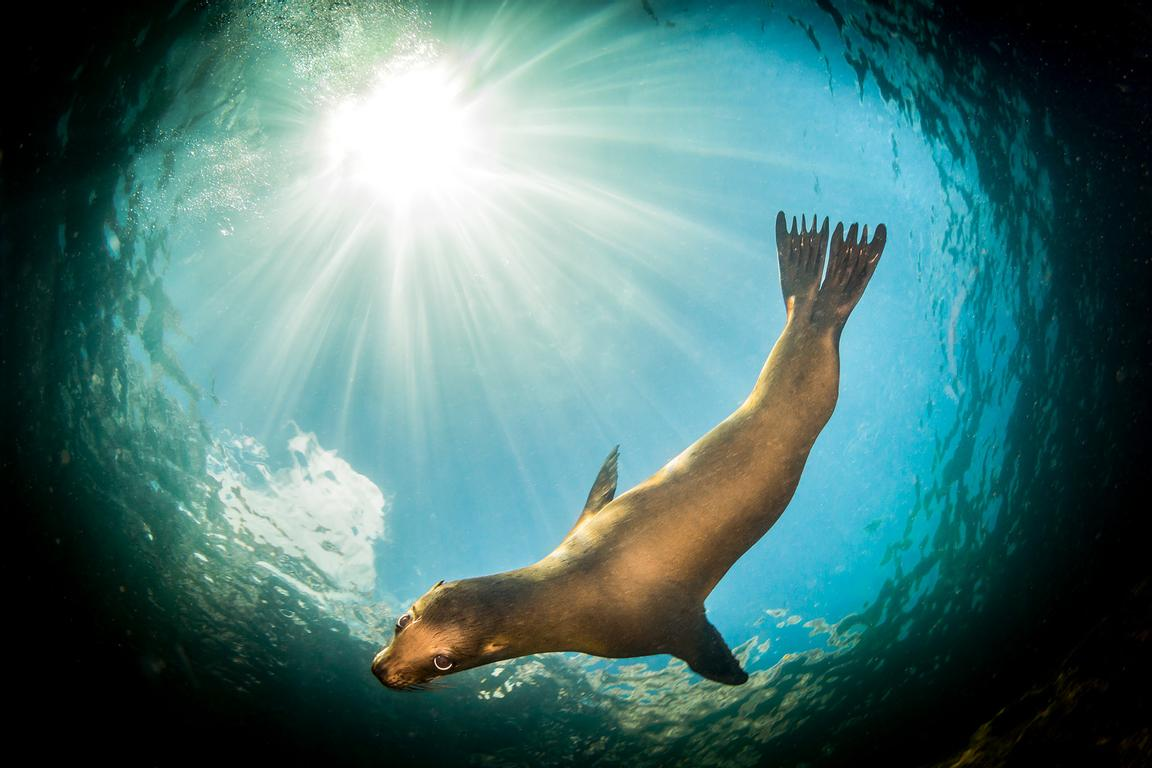 Fisheye view of a young California Sea Lion, Zalophus californianus, in the clear waters of the Sea of Cortez.