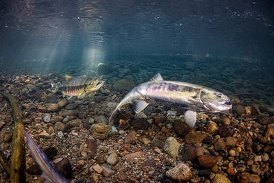 Chum salmon spawning sequence 2-09