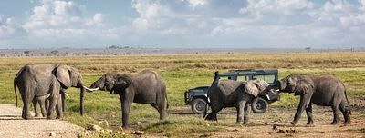 Elephants Playing In Front Of Safari Vehicle
