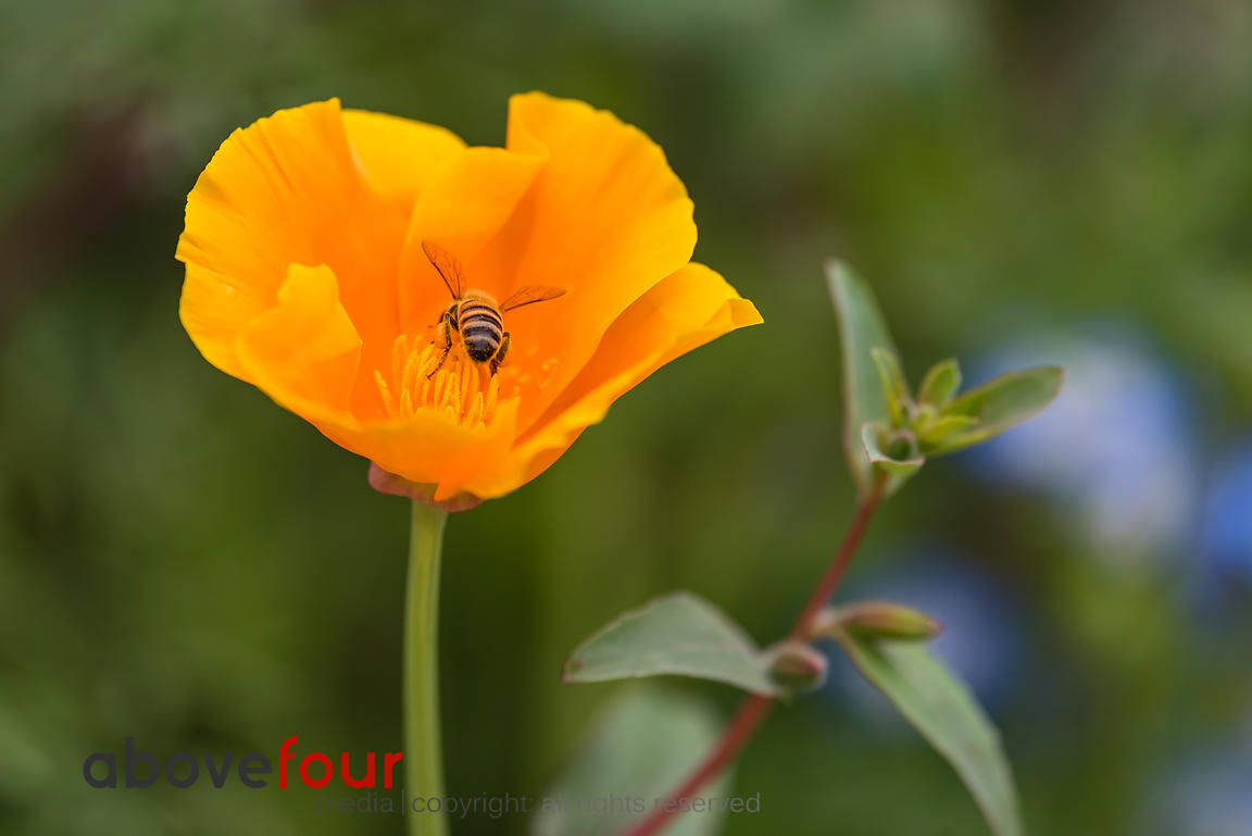California Poppy visited by a Honey Bee.