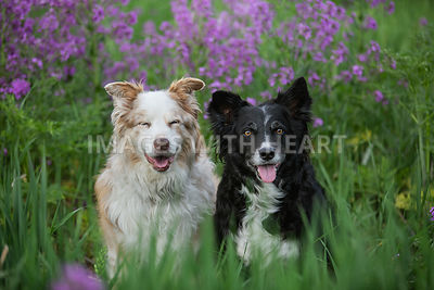 Two_Dogs_Sitting_In_Grass_And_Purple_Flowers