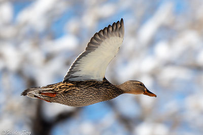 Mallard Duck in Front of Snow-Covered Trees